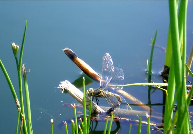 Dragonfly. Harvest Golf Course, Kelowna